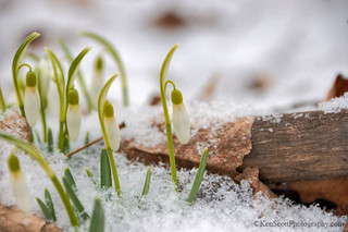 Snowdrops ... in drops of snow
