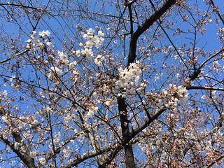 桜咲き始めました。
