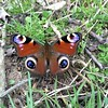 How beautiful is this butterfly! Pattern inspiration! #nature #beauty #beautiful #butterfly #British #countryside #pattern