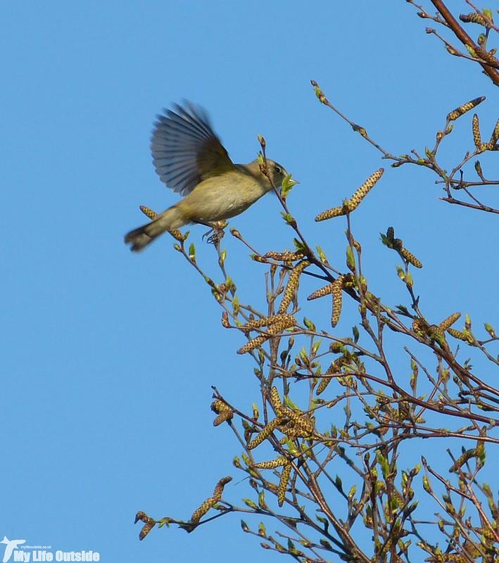 P1120294_2 - Willow Warbler