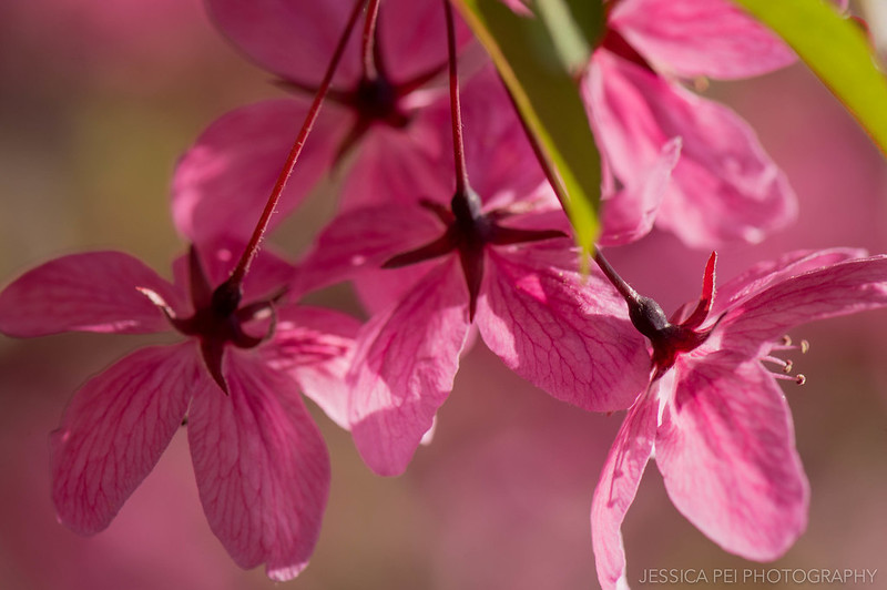 Pink Star Flowers Macro Nature Photography