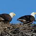 Bald Eagles - Proud Parents by Mitch Vanbeekum Photography