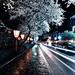 Rainy Street with Cherry Blossoms
