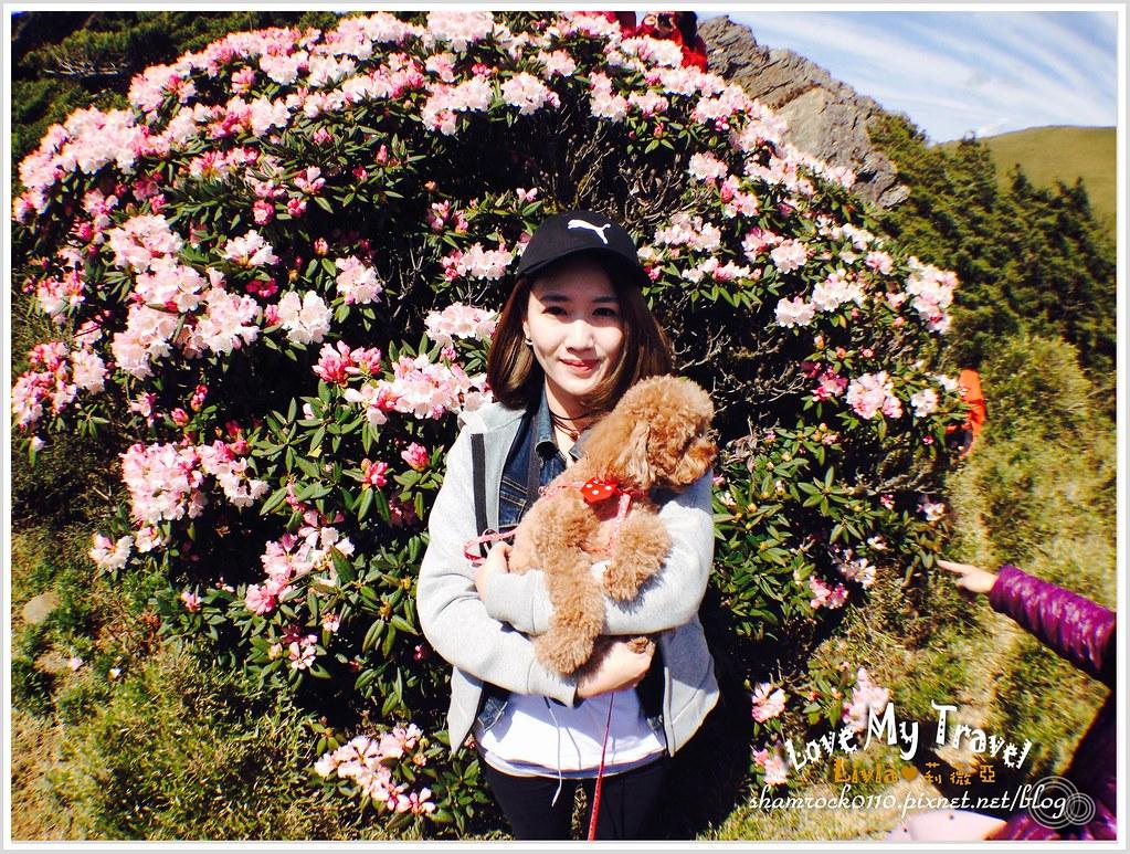 合歡山杜鵑花 -27