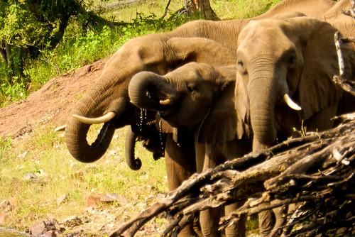 ¿Qué pasa cuando un elefante se para en una pata?