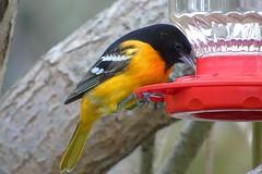 Orioles & Blackbirds