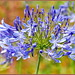 Small photo of Agapanthus Blooming