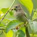 Field sparrow with worm - Glenhurst Meadows, NJ