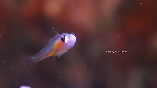アカメハゼ幼魚♪