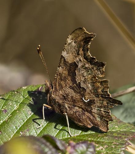 comma butterfly448 (49)