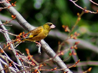 Oriental greenfinch (カワラヒワ)