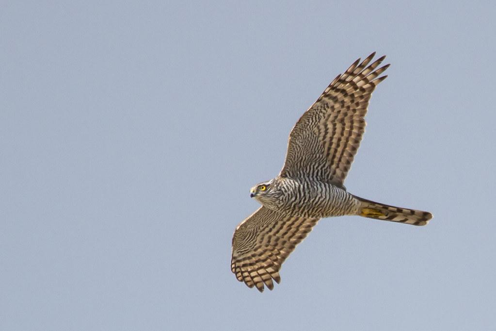 Sparrhaukur / Sparrowhawk