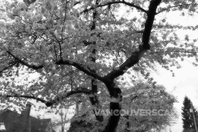 Lumix DMC-LX100 cherry blossoms/Silky monochrome