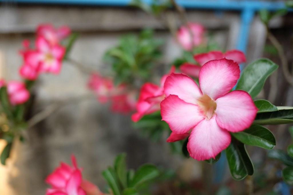 ดอกไม้ที่บ้าน มีนาคม 2558