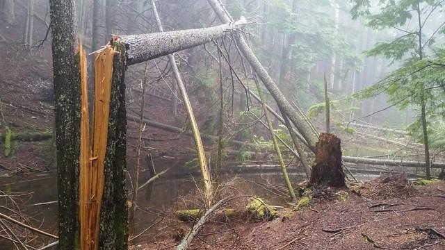 Freshly fallen tree