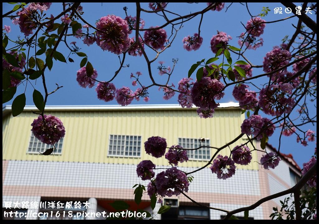 興大路綠川洋紅風鈴木DSC_2227