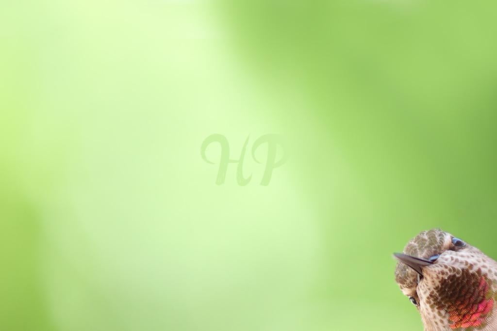 Anna's Hummingbird 010415