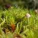 Small photo of Mycena acicula