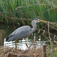 pelecaniformes(0.0), ibis(0.0), wetland(1.0), animal(1.0), fauna(1.0), little blue heron(1.0), heron(1.0), beak(1.0), bird(1.0), wildlife(1.0),