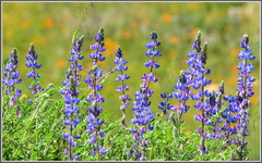 So Cal Lupines