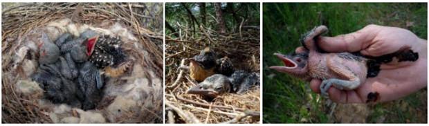 Imagenes de una cría de cuco en un nido ajeno
