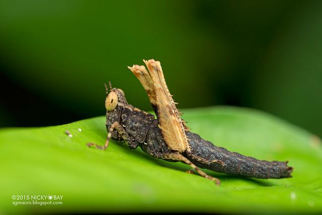 Grasshopper (Caelifera) - DSC_3667