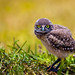 Baby Burrowing Owl by anitahogue