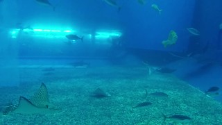 Rays in Okinawa Churaumi Aquarium 沖縄美ら海水族館