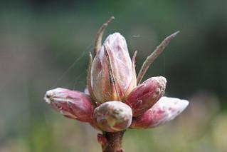 Macro Bud