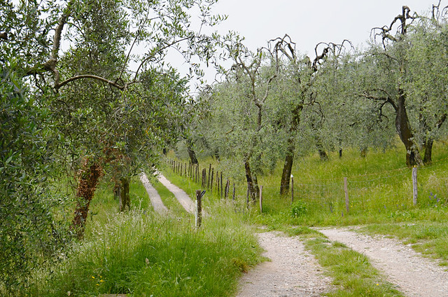 Path through the olives, Lake Garda, Italy