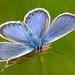 Silver-studded Blue (Plebeius argus) by celerycelery