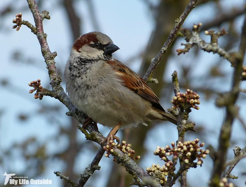 P1120082 - House Sparrow