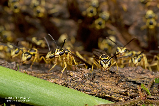 Paper wasps (Polistinae) - DSC_5040