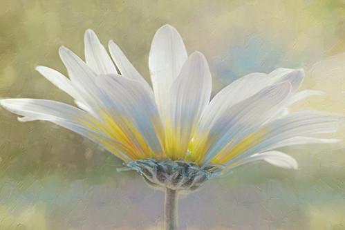 golden sunshine on a most splendid daisy