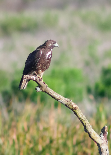 White-tailed Hawk (juvenile)