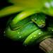 serpent arboricol by lafargenicolas