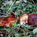 Small photo of Tricholoma quercetorum
