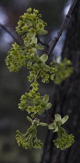 Maple tree flowering