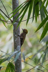 ... bamboo woodpecker, 竹啄木鸟 (female) ...