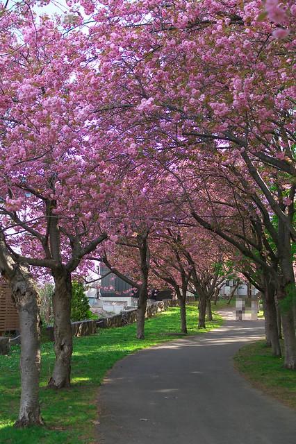 20160514西野緑道の桜_01