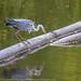 European grey heron catching a fish at Lyshe fish reserve.