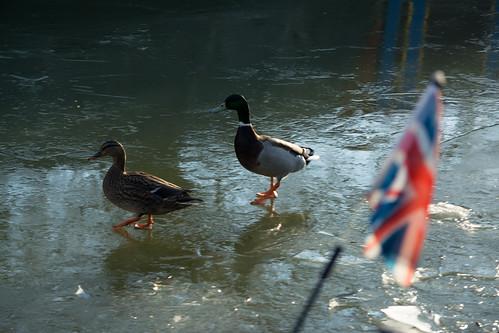20141231-07_Braunston - Mallard Ducks - Skating on Ice