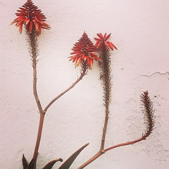 Cactus sobre pared blanca 2