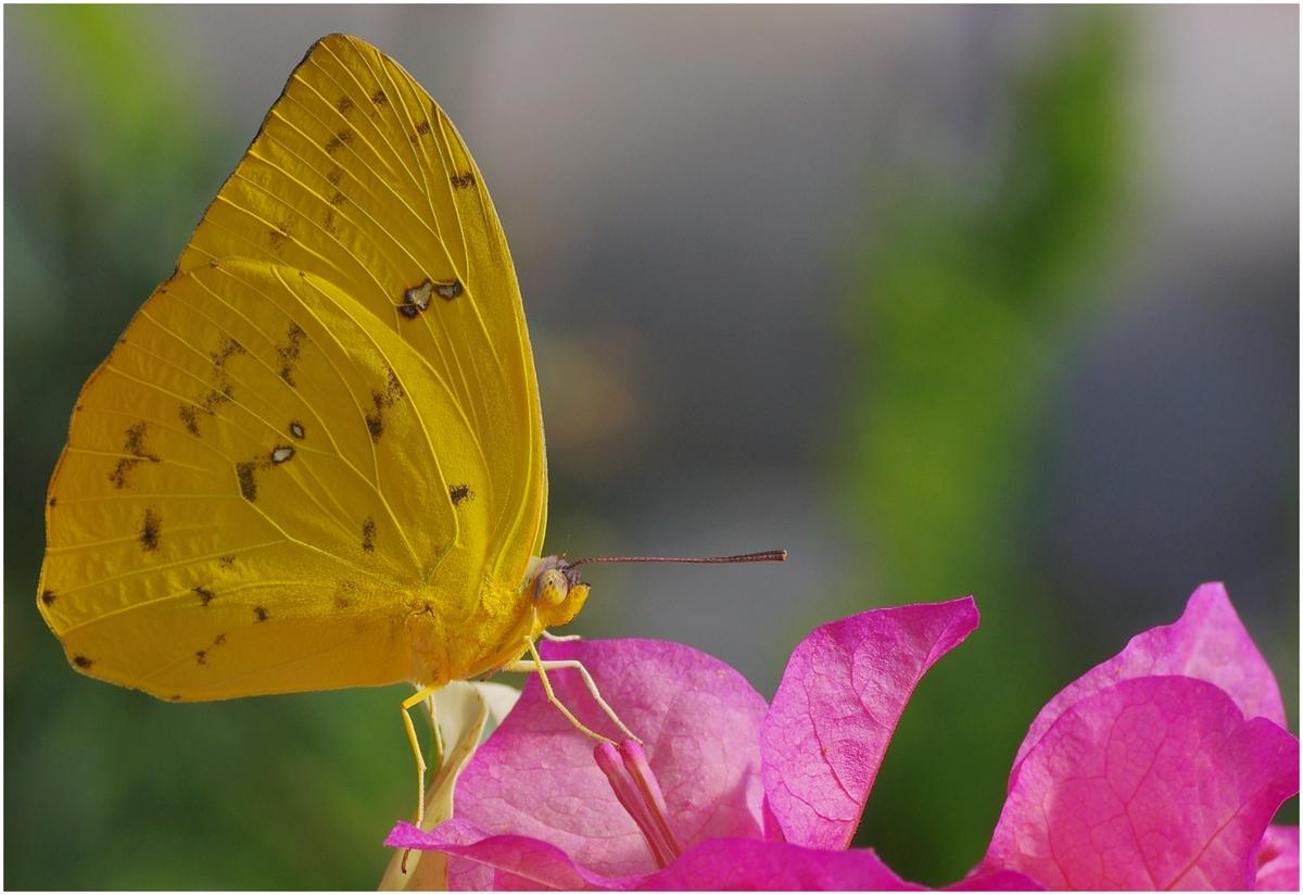 Papillons en Fêtes 2015 16389019424_ac9796732d_o