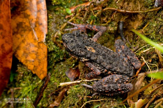 Dwarf toad (Pelophryne sp.) - DSC_2832