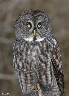 Chouette Lapone / Great Grey Owl