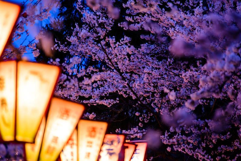 打吹公園 桜-5
