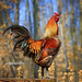 chicken in charge by jaki good miller