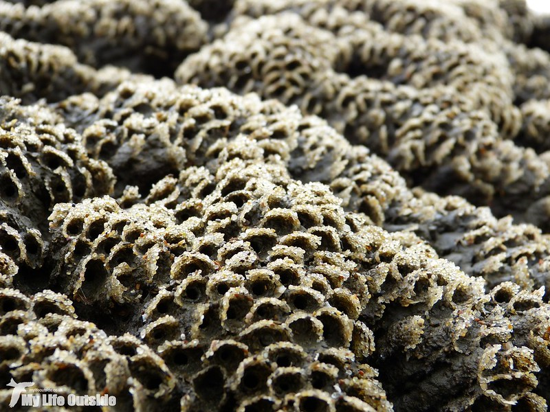 P1120089 - Honeycomb Worms, Charmouth