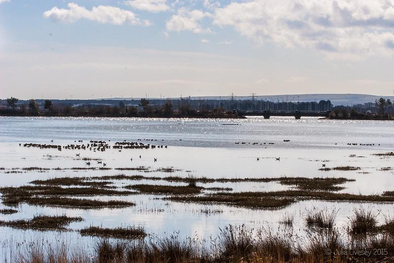 Godwits on Upton Lake